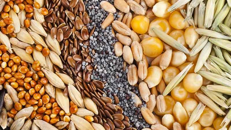 AGRÍCOLA EL MORÓN S.A. DE C.V - Semillas-de-maíz