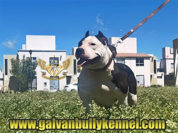 GALVAN BULLY KENNEL - GBK La Vaca Lola